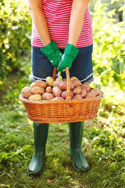 Woman carrying potatoes in garden Stock photo © icefront