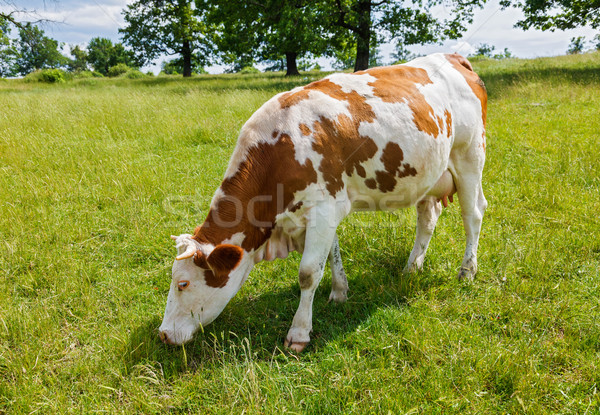 Piebald cow grazing on the field Stock photo © icefront