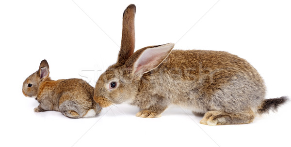 Mother rabbit with newborn bunny Stock photo © icefront