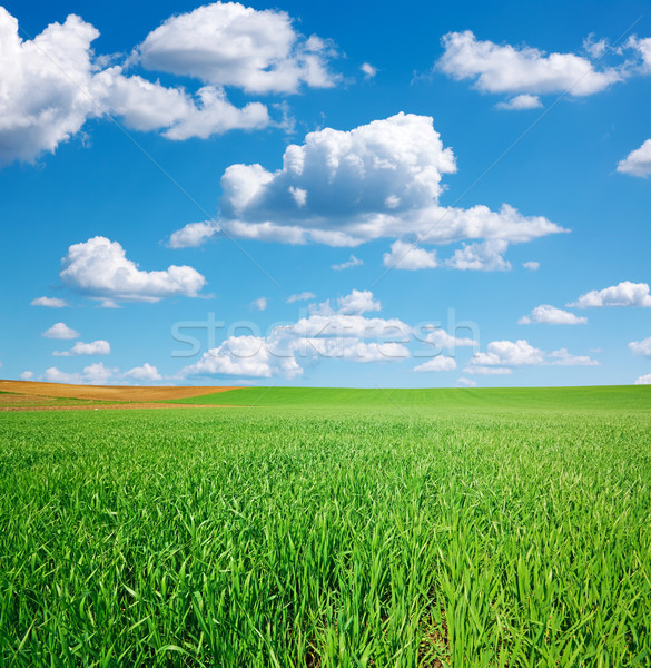 Green wheat field and blue sky with cumulus Stock photo © icefront