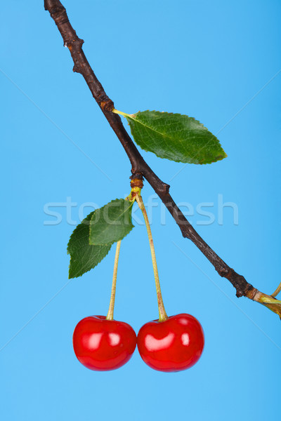 Sour cherry Stock photo © icefront