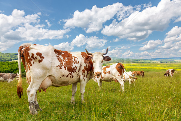 Cow herd on summer field Stock photo © icefront