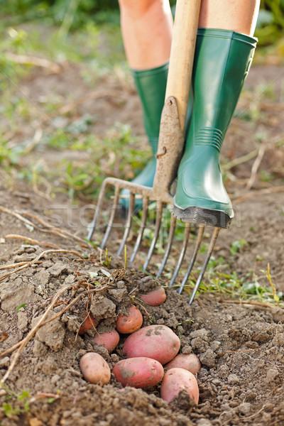 Felfelé krumpli gazda termény étel mező Stock fotó © icefront