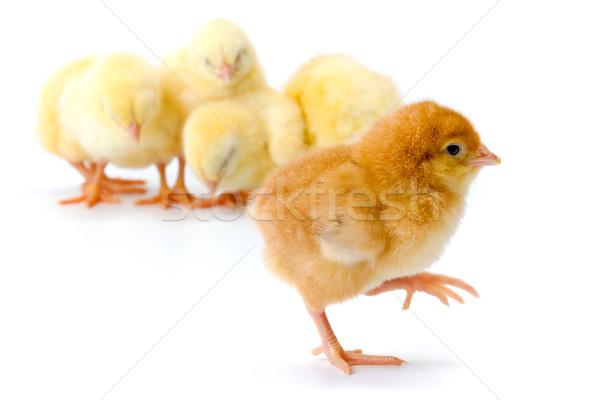 Newborn brown chicken walking away Stock photo © icefront