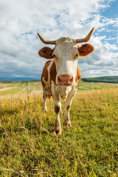 Stock photo: Curious cow on the field