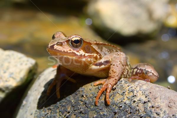 Frog on stone Stock photo © icefront