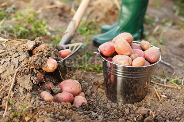 Felfelé krumpli gazda termény étel nyár Stock fotó © icefront