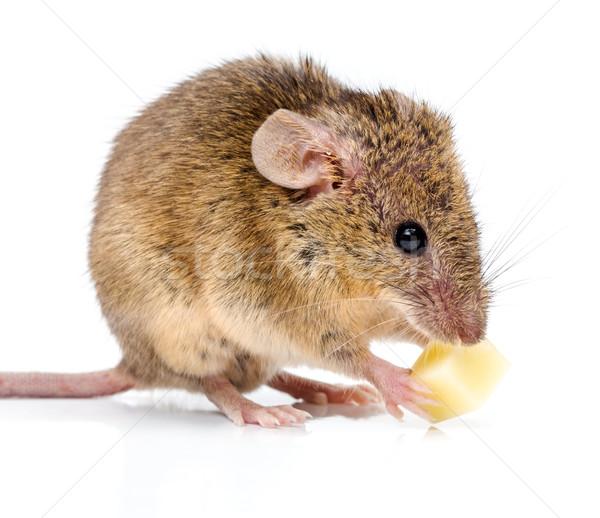 Casa ratón comer queso cerca vista Foto stock © icefront