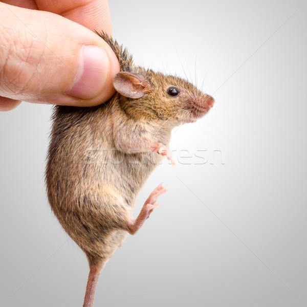 Stok fotoğraf: Ev · fare · küçücük · insan · parmaklar · el