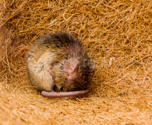 House mouse (Mus musculus) sleeping Stock photo © icefront