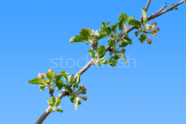 Burgeoning apple tree branch Stock photo © icefront
