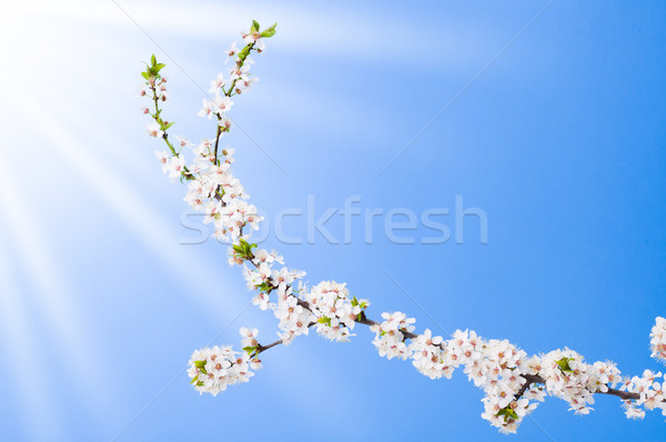 Blooming apple tree branch Stock photo © icefront