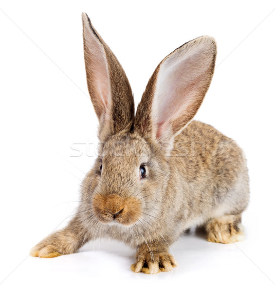 Brown rabbit on white background Stock photo © icefront