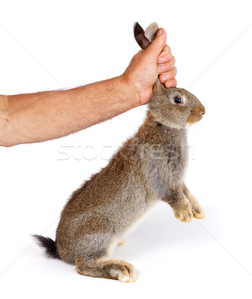 Man's hand holding a young brown rabbit Stock photo © icefront