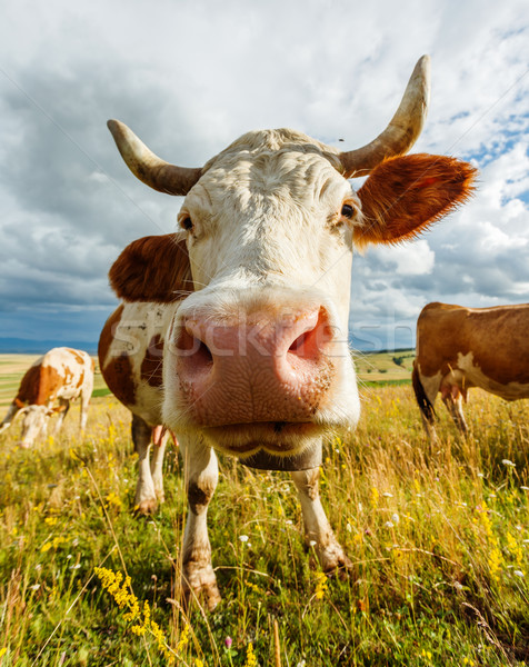 Stock photo: Curious cow sniffing