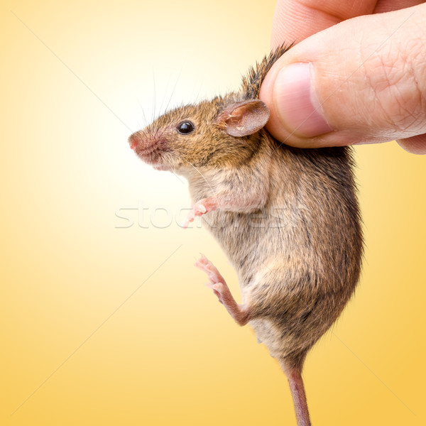 Captured house mouse (Mus musculus) Stock photo © icefront