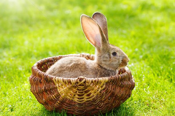 Brown rabbit Stock photo © icefront