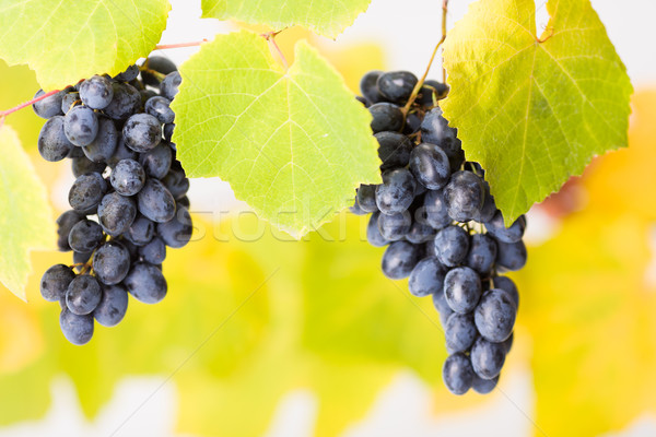 Blue grape clusters (shallow DOF) Stock photo © icefront