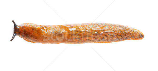 Spaans naaktslak top Stockfoto © icefront
