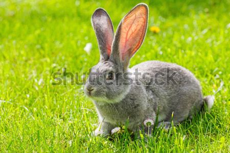 Gray rabbit in green grass Stock photo © icefront