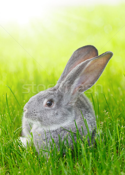 Gris conejo hierba verde jóvenes nacional primavera Foto stock © icefront