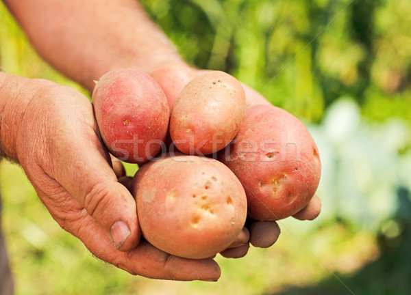 Potatoes in hands Stock photo © icefront
