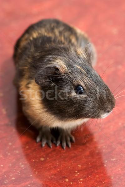 モルモット 注意深い 黒 赤 豚 面白い ストックフォト © icefront