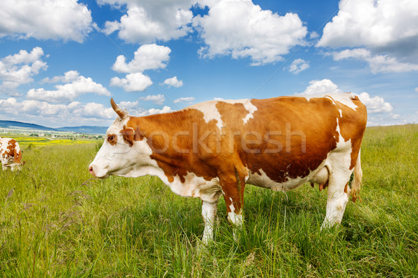 Brown cow on field Stock photo © icefront