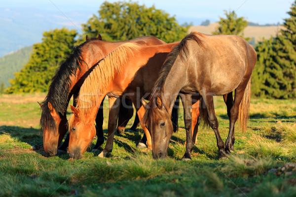 Herd of wild horses grazing Stock photo © icefront