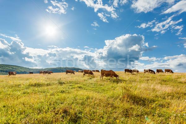 Foto stock: Rebanho · vacas · ensolarado · campo · verão · azul