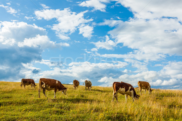 Herd of cows grazing on field Stock photo © icefront