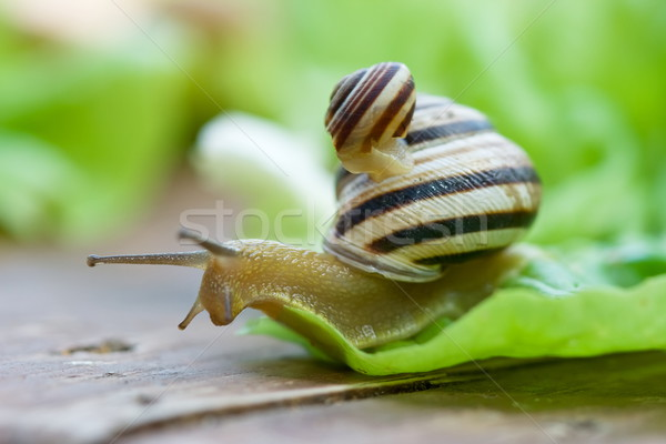 Snails on lettuce Stock photo © icefront