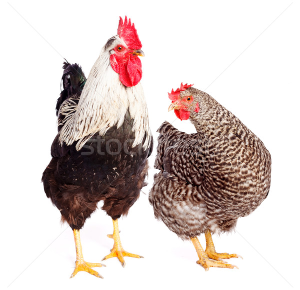 Rooster and chicken on white background Stock photo © icefront