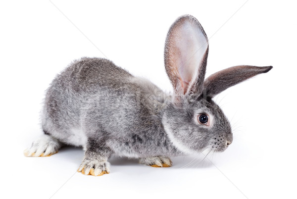 Curious grey rabbit sniffing Stock photo © icefront