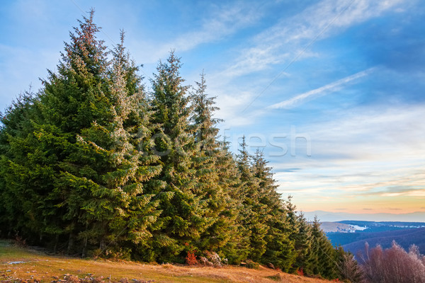 Pine forest in Transylvania Stock photo © icefront