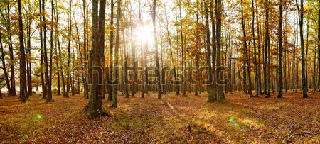 Deciduous forest panorama in autumn Stock photo © icefront