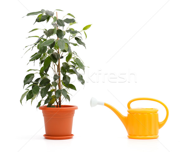 Ficus Benjamina and sprinkling can Stock photo © icefront