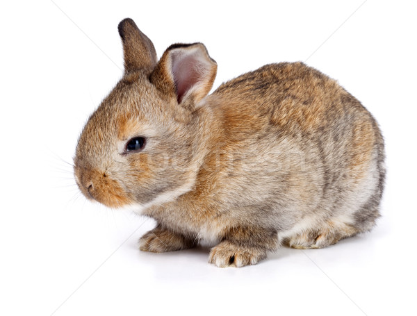 Brown baby rabbit Stock photo © icefront