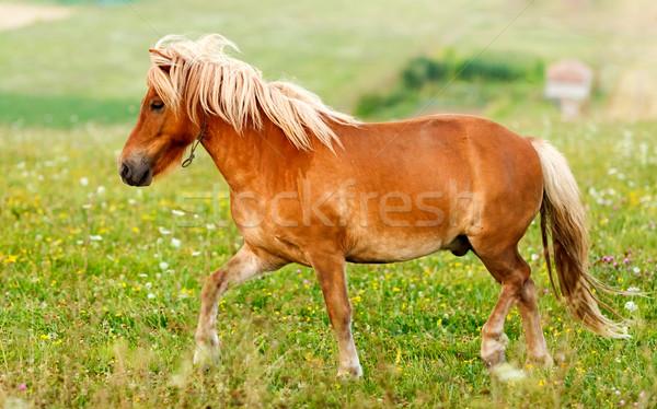 Small pony horse (Equus ferus caballus) Stock photo © icefront