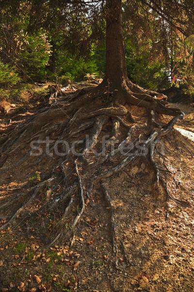Albero radici fuori terra foresta Foto d'archivio © icefront