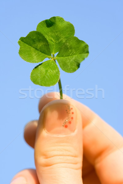 Four leaf clover Stock photo © icefront
