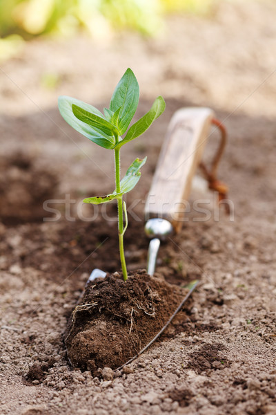 Plant in earth on small spade Stock photo © icefront
