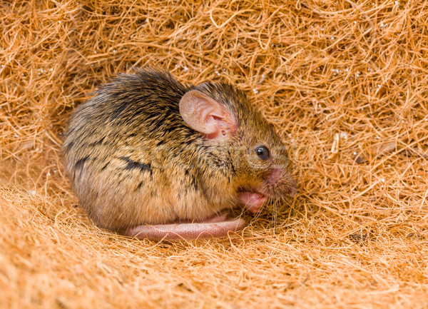 House mouse (Mus musculus) cleaning Stock photo © icefront