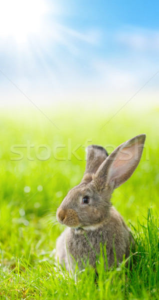 Brown rabbit Stock photo © icefront