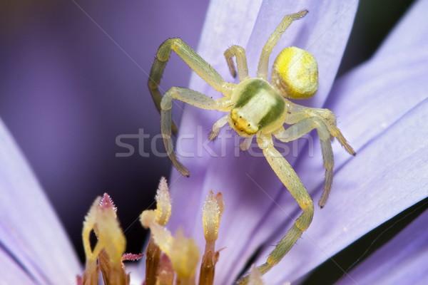 Pók virág extrém makró kicsi szem Stock fotó © icefront
