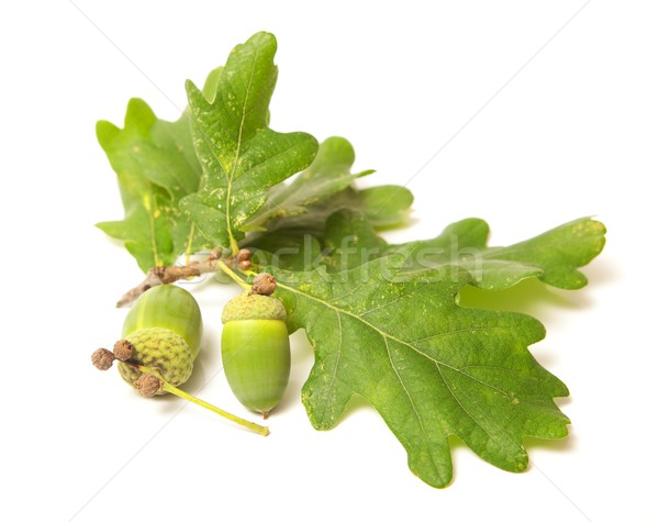 Green acorn Stock photo © icefront
