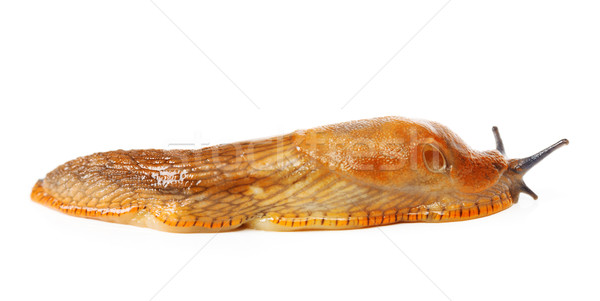Spaans naaktslak dier macro Stockfoto © icefront