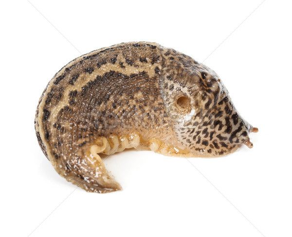 Contracted Limax maximus - leopard slug Stock photo © icefront