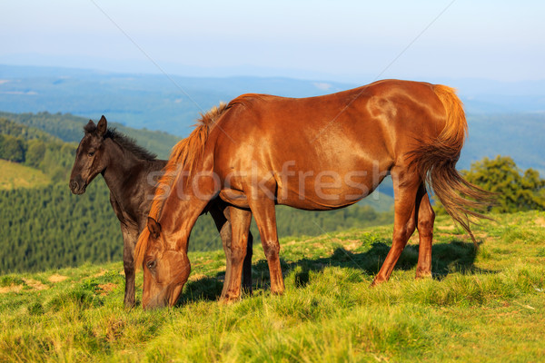 Wild horse and foal on the hill Stock photo © icefront