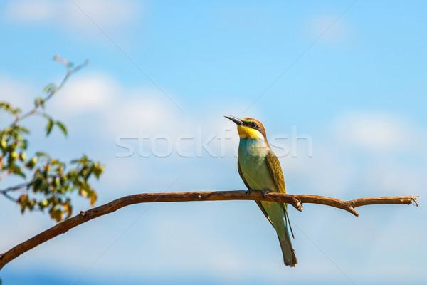 European bee-eater (Merops apiaster) Stock photo © icefront